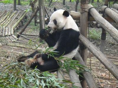 Visite d'un panda