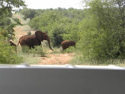 Deux éléphants traversant la route, rencontre fréquente