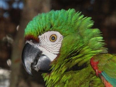 Perroquet en Amazonie