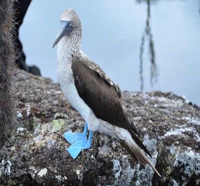 Les fous à pieds bleus des îles Galápagos