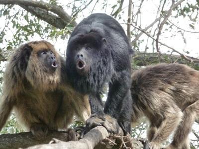 Sauvegarde des singes-hurleurs en Amérique Latine