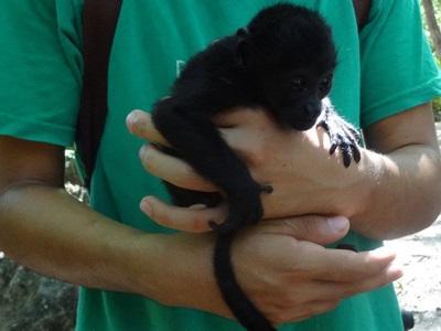 Bébé-singe dans un parc national au Costa-Rica