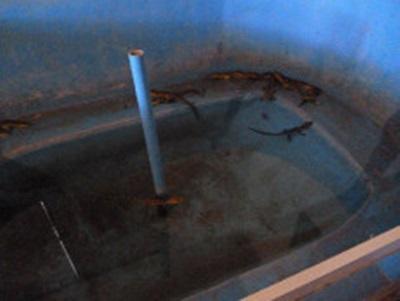 S'occuper des bébés crocodile au Mexique