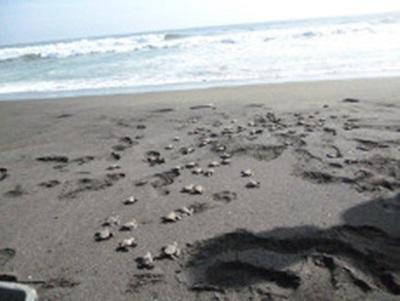 Relacher les bébés tortues au Mexique