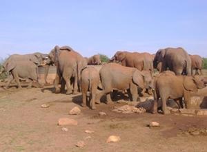Olifanten in Zuid-Afrika