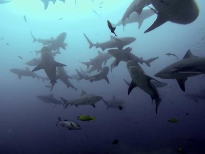 Hai i sjøen på haibevaringsprosjektet på Fiji