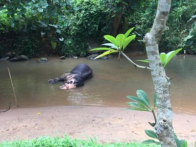 Hipopotam wynurzający się z wody